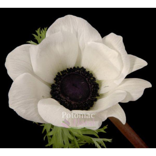 Anemone white black center 40 cm potomac floral wholesale anemone white black center 40 cm mightylinksfo