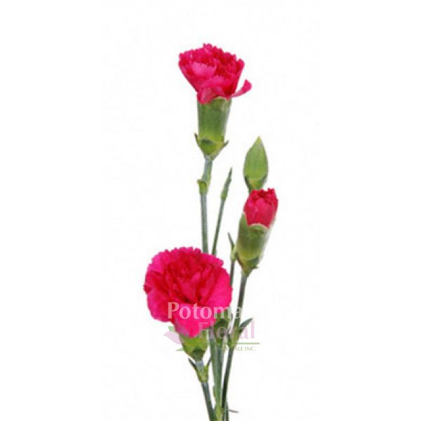 f6ae284bfb10 Mini Carnation Hot Pink - Potomac Floral Wholesale