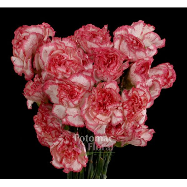 Carnation white with pink edges fancy select potomac floral carnation white with pink edges fancy select potomac floral wholesale mightylinksfo