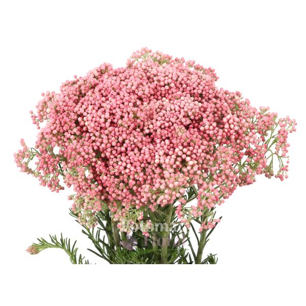 Rice Flower Pink All Shades - Potomac Floral Wholesale
