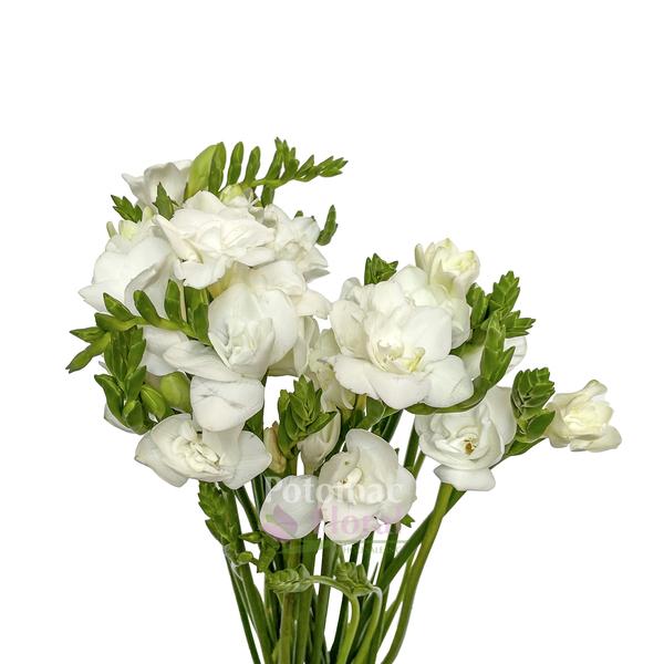 Freesia White Double Extra Potomac Floral Wholesale