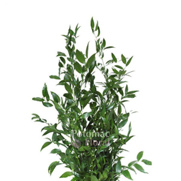 Italian Ruscus, 50cm - Potomac Floral Wholesale