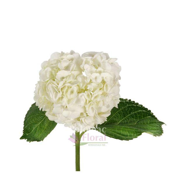 Hydrangea white select 40 stems per case potomac floral wholesale mightylinksfo