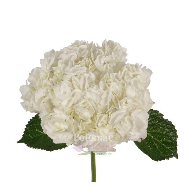 Hydrangea White Jumbo Huge Heads 16 Stems Per Case Potomac