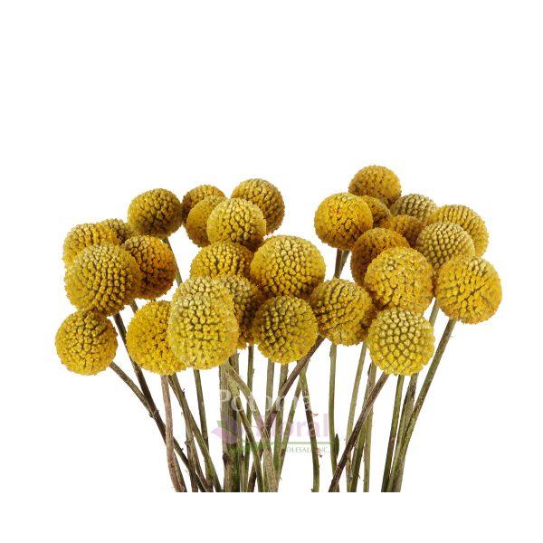 Billy Balls Craspedia Yellow Balls 70 Cm Potomac Floral Wholesale