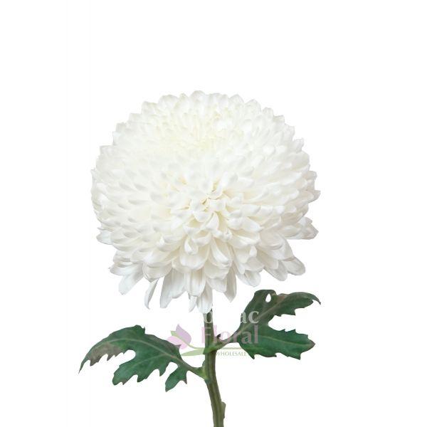 Cremon white ball potomac floral wholesale cremon white ball mightylinksfo
