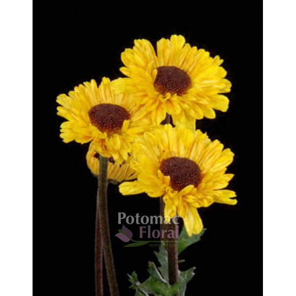 Pom viking yellow with black center potomac floral wholesale mightylinksfo