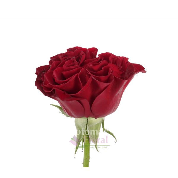 Hearts Rose Burgundy Red, 50 to 60 cm - Potomac Floral Wholesale