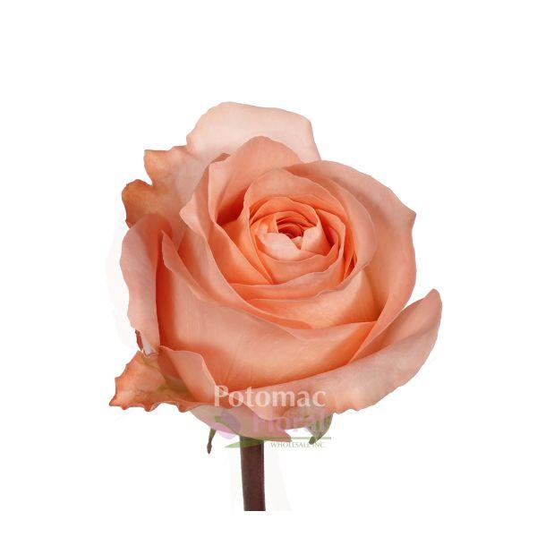 Coral Garden Rose rose, coral reef - coral peach, 40-60cm - potomac floral wholesale