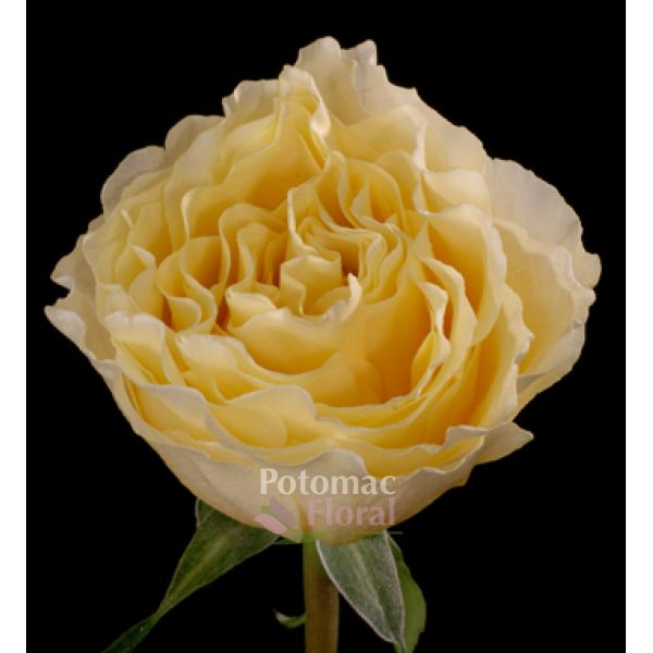 garden rose cream campanellastar creamy yellow potomac floral wholesale