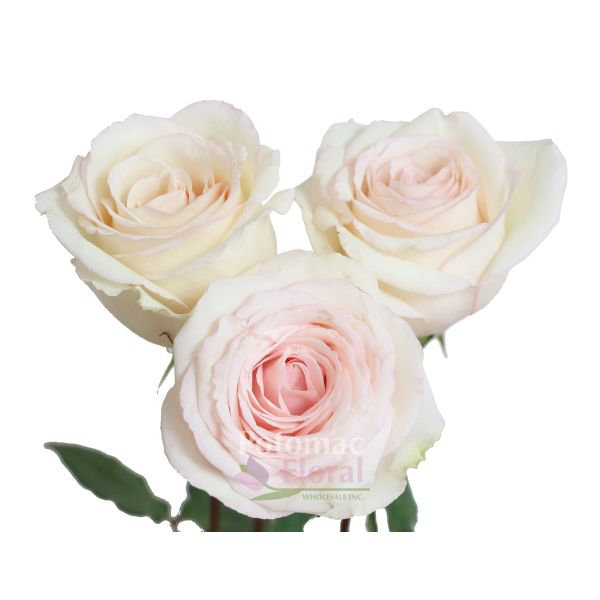 Rose emely creamy blush 40 to 60cm potomac floral wholesale mightylinksfo