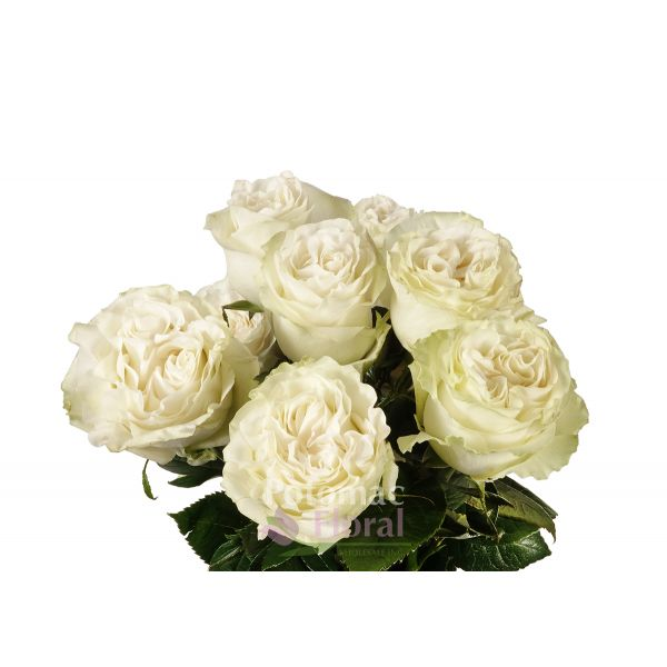 Garden Rose, Moonstone   Cream With A Hint Of Green   Potomac Floral  Wholesale
