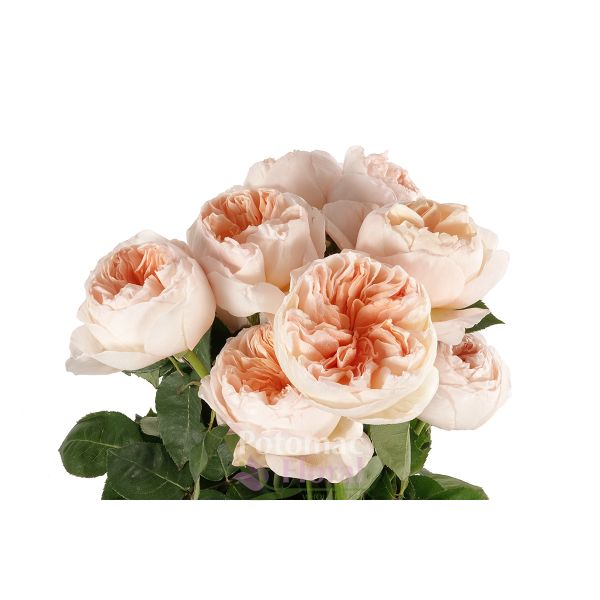 Garden Rose, Juliet (David Austin)   Blush Pinky Peach   Potomac Floral  Wholesale