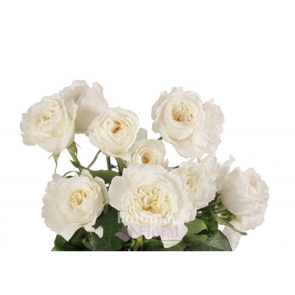 garden rose patience david austin white cream potomac floral wholesale - White Patience Garden Rose
