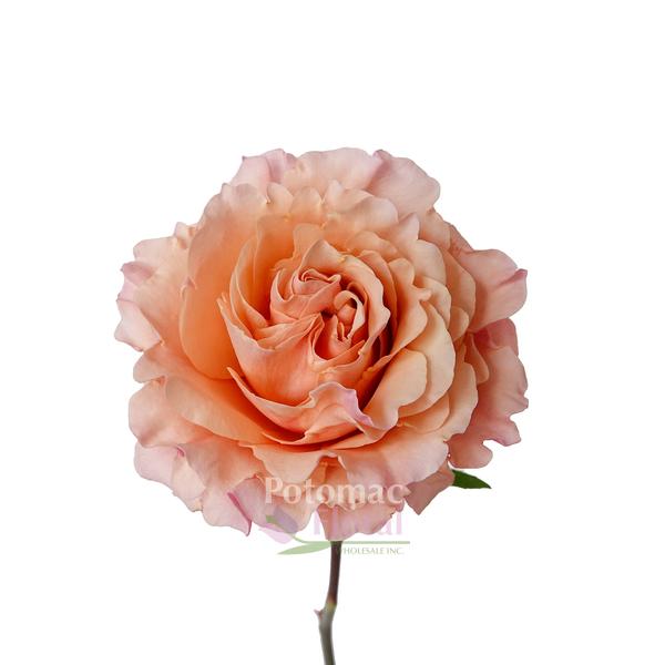 Roses In Garden: Garden Rose, Peach Mayra