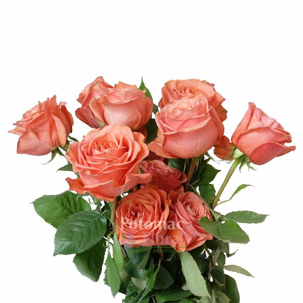 Roses In Garden: Garden Rose Coral Expression, Double Heart