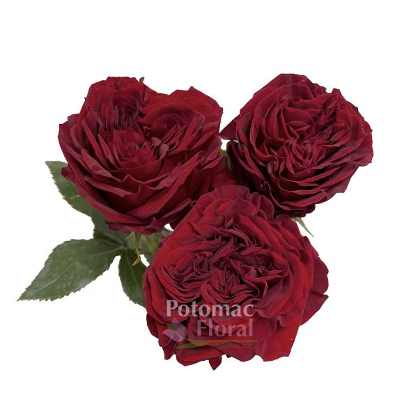 Roses In Garden: Potomac Floral Wholesale