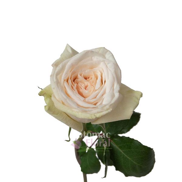 Garden Rose, White Ou0027Hara   White With A Blush Center   Potomac Floral  Wholesale