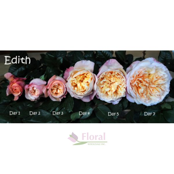 Garden Rose, Edith (David Austin) - Old Gold/Peach - Potomac ...