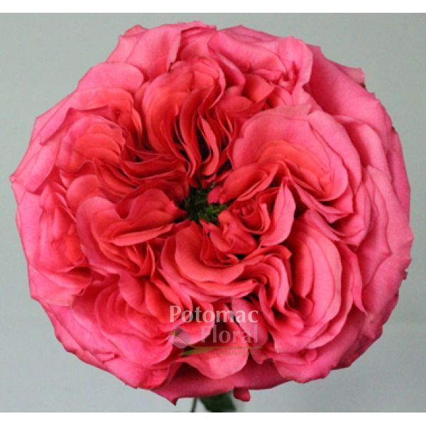 garden rose pink campanella ruffled large heads potomac floral wholesale