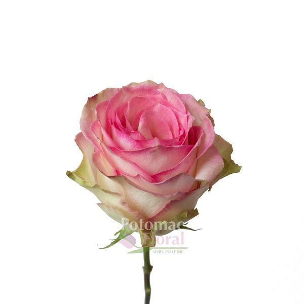 esperance rose pink creme 50 to 60 cm potomac floral wholesale