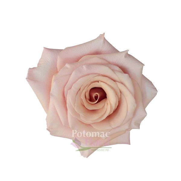 Mother of pearl rose sandy blush pink 50 to 60cm potomac floral mother of pearl rose sandy blush pink 50 to 60cm potomac floral wholesale mightylinksfo