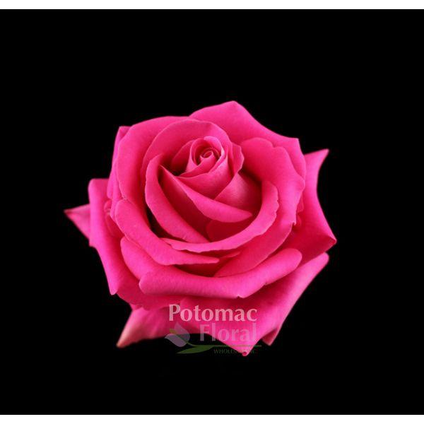 Pink floyd rose raspberry fuchsia 50 cm potomac floral wholesale mightylinksfo