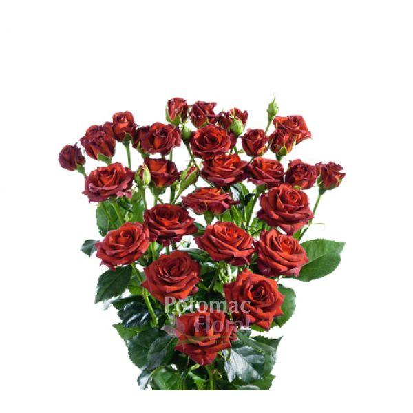 Spray rose choccochino brown potomac floral wholesale mightylinksfo