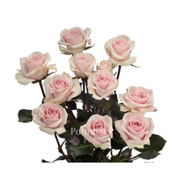 Star blush light pink spray rose potomac floral wholesale mightylinksfo