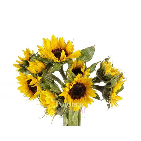 Mini Sunflower Black Center - Potomac Floral Wholesale